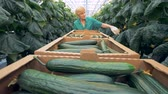 carry out : Cucumbers harvesting process carried out in a glasshouse. Healthy products production concept. Stock Footage