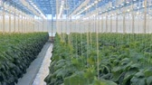 espaçoso : Spacious hothouse with cucumbers being bred in it. Organic cultivation of natural and fresh vegetables.