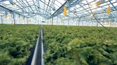espaçoso : Lettuce plantations in a spacious greenhouse under artificial lighting. Industrial greenhouse interior.