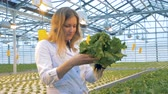 agronomist : Female greenhouse worker is inspecting lettuce sprouts in a pot. Healthy products production concept.