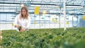 fotossíntese : Glasshouse employee is inspecting seedlings of lettuce. Healthy products production concept. Vídeos
