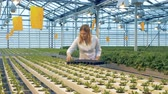 фотосинтез : Lettuce seedlings are getting relocated into a plastic tray. Industrial greenhouse interior. Стоковые видеозаписи