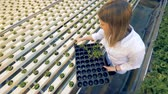 inserting : Top view of lettuce sprouts in pots getting inserted into metal trays. Healthy products production concept. Stock Footage
