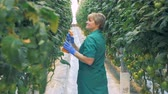 毒性 : Hothouse worker is humidifying tomato bushes.