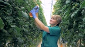 hydrating : Cheerful warmhouse employee is spraying tomato plants Stock Footage