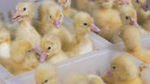 держать : Plenty of baby ducklings kept in separate sections of a plastic box