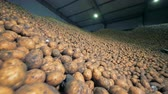 клубень : Massive amount of potatoes contained in a storage room. Agriculture farming concept.