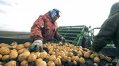 potato harvest : Two agricultural workers are sorting potatoes and rubbish Stock Footage