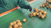 yumru : Factory inspector is removing defective potatoes from the conveyor belt