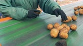 empregado : Defective potatoes and pieces of mud are getting removed from the belt by a farm worker.