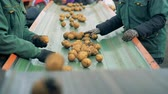 sorting : Factory workers are sorting potatoes on the transporter belt. Fresh harvest sorting process. Stock Footage