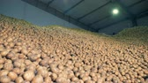 клубень : Massive factory, warehouse facility filled with fresh dug-out potatoes. Agriculture farming concept. Стоковые видеозаписи