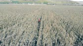 shortage : Rows of dried sunflowers, top view. A person checks dead plants on a farmland.