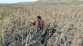 desvanecer : Farmer stands on a field with dead plants. Damaged crop concept.