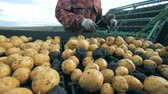 сортировать : Person sorts potatoes on a moving conveyor, close up. Стоковые видеозаписи