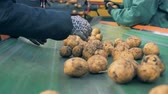 eldiven : Factory workers sort potatoes on a line, close up. Stok Video