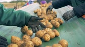 tubers : Farm workers sort potatoes on a moving line, close up.