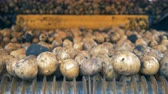 ve slupce : Unpeeled potatoes going on a conveyor. Tractor conveyor works, moving potatoes. Dostupné videozáznamy
