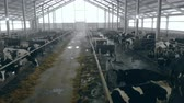 espaçoso : Spacious cowhouse with cattle eating fodder