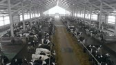 yem : Massive cowshed filled with black and white cows