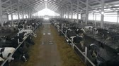 cattle breeding : Passage between two rows of cattle in a byre