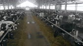 espaçoso : Cows are being kept in a spacious cowhouse