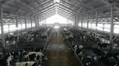 cattle breeding : Massive cowhouse with a male worker walking along it