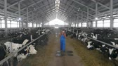 espaçoso : Cowshed with livestock and a male worker with a laptop walking along it