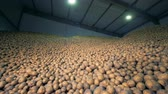 sorting : A warehouse full of potatoes, close up. Stock Footage