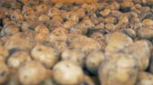 tubers : Dirty potatoes sorted on a tractor conveyor, close up.