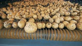 tubers : Harvested potatoes moving on a tractor conveyor, close up.