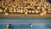 hauling : Yellow potatoes spinning on a tractor conveyor, close up. Stock Footage