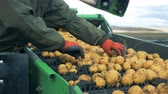sorting : Farmer removes sticks from a conveyor with potatoes, close up.