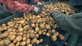 сортировать : Two workers sorting lots of potatoes on a conveyor, close up.