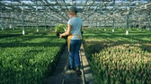 virágárus : A woman walks in a greenhouse full of tulips, agronomy industry.