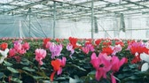 горшках : Colorful cyclamens growing in flower beds in a greenhouse, agronomical industry.