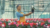 horticultura : Pretty greenery lady is watching a beautiful flower in a pot Stock Footage