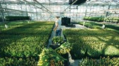 тюльпаны : Gardener moves a cart with tulips in a big greenhouse, flower industry.