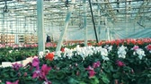 горшках : Big greenhouse full of colorful flowers, cyclamens. Flower growing in greenhouse.