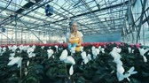 giardiniere : Woman checks cyclamen flowers in pots, working in a greenhouse.