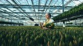 botanikus : One florist collects tulips from a ground, greenhouse worker. Stock mozgókép