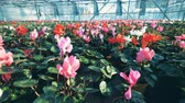 flower bed : Many colorful tulips growing in a big greenhouse, agronomy industry. Stock Footage