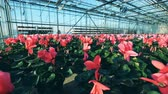 горшках : Flower beds with tulips placed in one greenhouse.