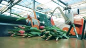distributie : Flowers industry, flowers production. Tulips batches are being thrown onto the conveyor