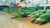distributie : Batches of pink tulips are moving along the conveyor