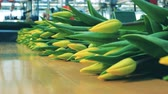 distribution automatique : Factory conveyor is relocating yellow tulips. Flowers plant, automated machinery for flowers production.