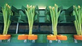 distributie : Fixated and tied up tulips on the mechanical belt. Flowers industry, flowers production.