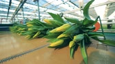 distributie : Transporter with yellow tulips. Flowers plant, automated machinery for flowers production.