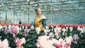 горшках : Young woman waters cyclamen flower in pot, working in a greenhouse. Стоковые видеозаписи