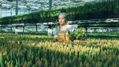 flower bed : Woman collects tulips from flower bed into a bucket, working in a greenhouse. Stock Footage